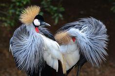grey crowned crane (Balearica regulorum) | Flickr - Photo Sharing!