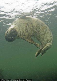 Too late to enter the synchronised swimming? Diver seals friendship with playful pup who can't help showing off for the camera Mysterious Sea Creatures, Basking Shark, Baby Animals, Cute Animals, Harbor Seal, Dolphin Art, Seal Pup, Underwater Creatures, Cute Creatures
