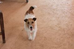3 yr Jack Russell Bitch | Trade Me