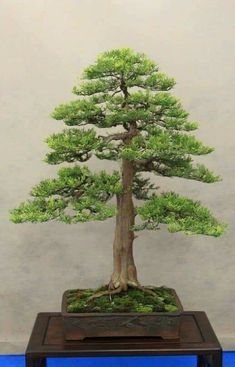 Bonsai Art, Bonsai Plants, Bonsai Garden, Air Plants, Bonsai Trees, Farm Gardens, Easy Garden, Art Of Living, Tree Art