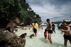 Pipi Island Thailand   Thailandia , Phi Phi Island , feeding monkeys on Monkey Island
