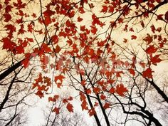 Bare Branches and Red Maple Leaves Growing Alongside the Highway Landscapes Photographic Print - 61 x 46 cm