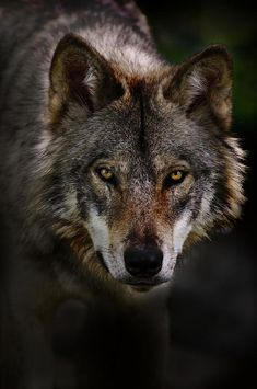 Timber Wolf Portrait by Michael Cummings                                                                                                                                                                                 More