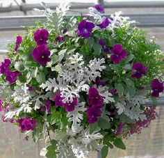 Part shade: Hanging basket with pansies & dusty miller