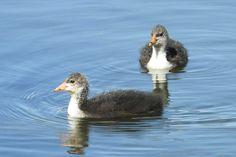 Oiseaux - Foulque macroule - Fulica atra - Poussins jumeaux au Lac de Courcouronnes