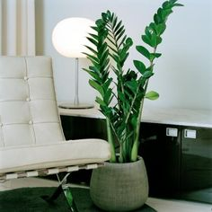 There are several varieties of houseplants that are acceptable for a low light environment. The minimal light house plants listed here might be the ideal solution for your indoor decor. Best Indoor Plants, Outdoor Plants, Feng Shui, Plante Zz, Indoor Plant Shelves, Easy House Plants, Low Maintenance Plants, Office Plants, Interior Plants