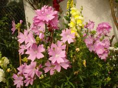 Malva moschata,'Musk Mallow'. Garden Forum, Flowers, Plants, Gardens, Plant, Royal Icing Flowers, Flower, Florals, Floral