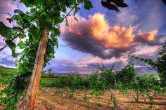 Lake Chelan Vineyard Sunset