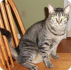 Colmar, PA - Domestic Shorthair. Meet Sammee, a cat for adoption. http://www.adoptapet.com/pet/14078001-colmar-pennsylvania-cat