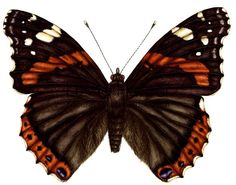 red butterfly pics | Red admiral butterfly – Lizzie Harper Illustration ¦ Botanical ...