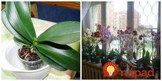 Môj lopatkovec bol na vyhodenie, dnes kvitne ako na baterky: Stačilo priložiť na listy toto a ožil mi priamo pred očami! Bulb Flowers, Ikebana, Bonsai, House Plants, Flora, Home And Garden, Herbs, Ale, Table Decorations