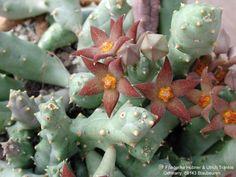 Piaranthus pillansii inconstans - Google'da Ara