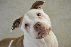 Mira Pit Bull Terrier & English Bulldog Mix • Adult • Female • Medium Humane Society of Middletown New York Middletown, NY http://www.petfinder.com/petdetail/20533156/