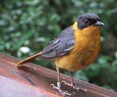 Chorister Robin-Chat, previously known as Chorister Robin - South Africa andSwaziland