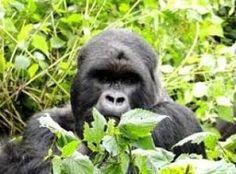 El Gorila Caracteristicas Especies Que Comen Donde Viven Inteligencia
