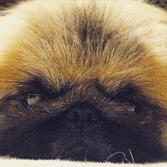 """""""#pekingese #pekistagram #dog#犬#ペキニーズ  Nana"""""""