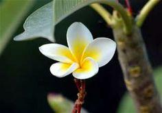 Jasmine Flower Jasmine Flower