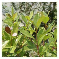 Araçaleiro: Psidium guava | Cantinho das Aromáticas