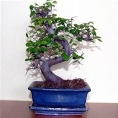 Bonsai trees - - Yahoo Image Search Results