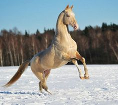 Akhal-teke horse by Artur Baboev Most Beautiful Horses, All The Pretty Horses, Beautiful Things, Akhal Teke Horses, Friesian Horse, Palomino, Golden Horse, Horse Ears, Horses And Dogs