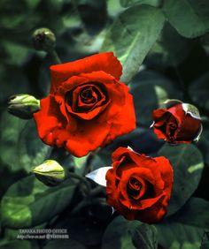 Red rose flowers. 赤いバラの花。Mamiya RB67PRO-S, C140mm, PKR(Kodachrome 64 PRO), Green center spot cellophane filter, Shot in 1990.中空グリーンセロハン使用、フィルムはコダクローム64プロ、平成2年撮影#Kodachrome #コダクローム #フィルム #フィルム写真 #フィルムカメラ #花 #flower #rose #red