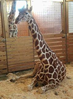 I love this giraffe.