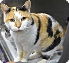 Westampton, NJ - Calico. Meet C-62608 Tabatha **PURRFECT PERKS, a cat for adoption. http://www.adoptapet.com/pet/12181887-westampton-new-jersey-cat