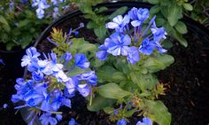 plumbago going into containers along the back fence