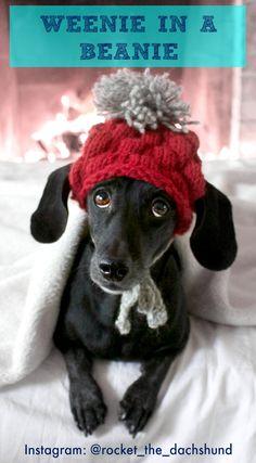A beanie on a weenie - adorable dachshund in a knit hat.