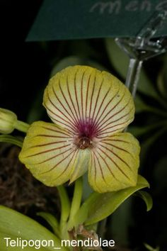 Orchid: Telipogon mendiolae - Found in northwestern Peru at elevations around 2200 meters as a mini-miniature-sized, cold-growing epiphyte.