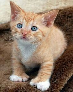 Polydactyly is a genetic abnormality that causes extra toes to form on one or more paw. Most polydactyl cats have extra toes on their front paws, though some have extras on the back paws, as well. Pretty Cats, Beautiful Cats, Pretty Kitty, Kittens Cutest, Cats And Kittens, Hemingway Cats, Orange Cats, Cat Facts, Kitty Cats
