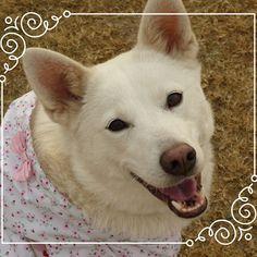 今日は生憎の雨でちゅ~ #dog#愛犬#白柴#ドコノコ#ミックス犬#お散歩#日本犬#笑犬#柴犬#shibainu