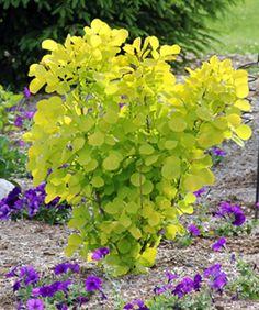 Golden Smoke Bush I like the idea of mixing the golden and purple smoke bushes
