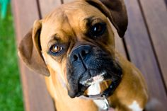 Boxer - our cheeky little puddy Zara