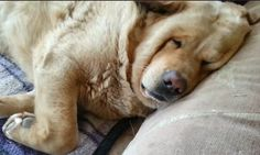 'This is why I can't sleep!'Pet owner films her huge dog SNORING #DailyMail