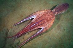 Enteroctopus dofleini by Alexander Semenov, via Flickr