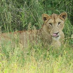 Did you know that female lions do most of the hunting, but, it's the male that eats first! Female Lion, Lions, Vacations, Safari, Hunting, African, Cats, Travel, Animals