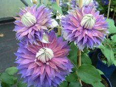 Clematis: una trepadora de gran valor ornamental. | Cuidar de tus plantas es facilisimo.com