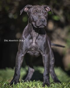 AMERICAN PIT BULL TERRIER Puppy 🤩 From @delmantodogs ♀ DMD SONYA - LUKE x EMMA Bull Terrier Puppy, American Pitbull, Panther, Pitbulls, Puppies, Dogs, Animals, Cloaks, Cubs