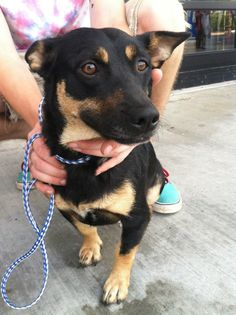 Cinnamon is a 2-3 year old, short haired, black & tan, Terrier mix female.She is 28 lbs. and full grown. She's great with other dogs & likes everyone she meets. She'll make a great family dog for some lucky family looking for a new friend....