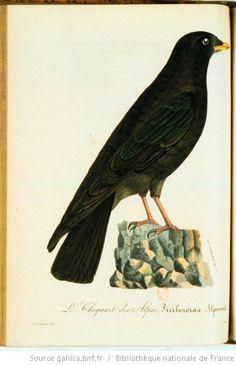 [Illustrations de La Galerie des oiseaux] / P. Oudart, dess.; G. Engelmann... [et al.], grav. ; L.P. Vieillot, aut. du texte Auteur : Oudart,, Pierre. Dessinateur Auteur : Engelmann, Godefroy (1788-1839). Graveur Auteur : Vieillot, Louis-Pierre (1748-1831). Auteur du texte Éditeur : Constant-Chantpie (Paris) Date d'édition : 1825 Sujet : Oiseaux -- Ouvrages illustrés Type : Représentations animalières,image fixe Langue :Français Format : 357 est. : lithographies couleur : coul. ; 25,5 x 18…