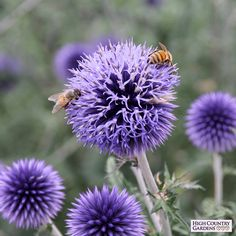 Blue Glow is an Old World wildflower that blooms in mid-summer. The deep blue globe-like flowers are held high above the attactive thistle-like foliage. One of the very best flowers for attracting bees and butterflies to your garden. Drought resistant/drought tolerant plant (xeric).