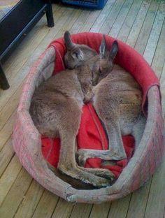 Cuddling Baby Kangaroos   Cutest Paw