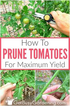 How To Prune Tomatoes For Maximum Production - - Pruning tomatoes is important to keep the plants healthy, and to maximize fruit production. Learn exactly when and how to trim tomato plants, step-by-step. Growing Plants, Growing Vegetables, When To Plant Vegetables, Container Gardening Vegetables, Organic Gardening, Gardening Tips, Gardening Supplies, Gardening Services, Potager Palettes