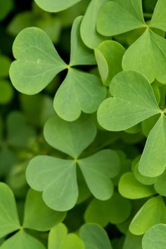 Shamrock St Patrick Wallpaper. #shamrock #iphone #wallpaper