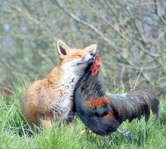 Amazing pair!  I really doubt I'll ever see a fox and a chicken together, unless the chicken is the dinner!