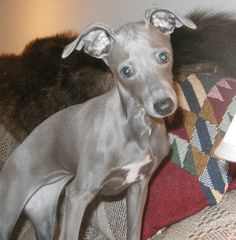 Is an Italian Greyhound the right dog for you?  They aren't for everyone but if they fit into your lifestyle, you'll never find a better companion who loves like an Iggy.