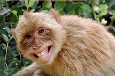 Barbary Macaque monkey - genuine smile!