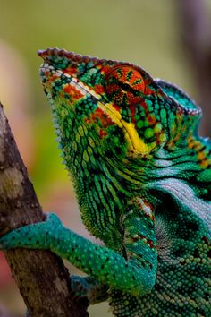 Chameleon. They are famous for their ability to change color (a form of communication, a response to temperature, light, and mood, as well as a defense against predators). Their eyes can rotate and swivel independently, enabling them to see almost a complete 360-degrees or observe two things simultaneously. Their tongues can be as long as their bodies. Chameleons can even sleep upside down!