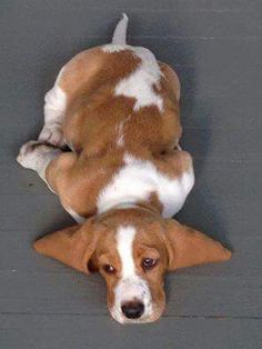 In the Sugarplum Recipes Series, one of the main characters is Sweet Willie - - a lovable bassett hound puppy. These bassett hounds remind me of Sweet Willie. Wendy-salter.com children's book writer